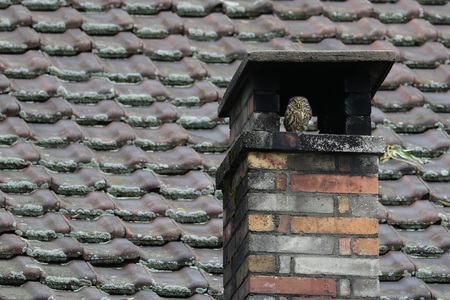 Little owl, Athene Noctua, seeking shelter in a chimney against a ceramic tile roof background