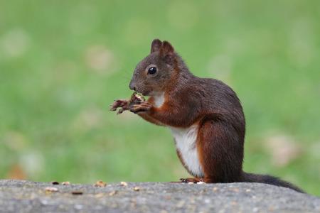 Cute red squirrel, Sciurus vulgaris, feeding on nuts on a granite rock Stock Photo