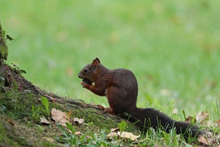 Cute red squirrel, Sciurus vulgaris, feeding on nuts on a tree root in grassy meadow