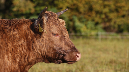 Detailed head portrait of brown cow in field Stock Photo