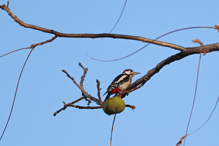 Great spotted woodpecker feeding on walnuts against blue skies Stock Photo