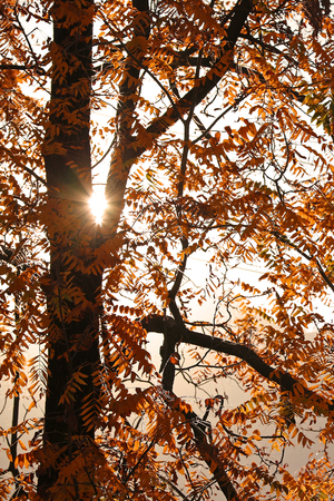 Sun peeking through autumn foliage tree Stock Photo