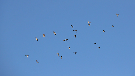 Doves soaring against blue skies during migration season Stock Photo