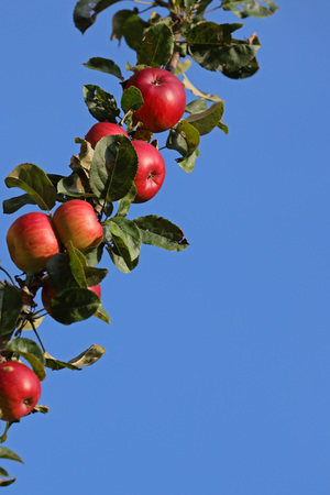 Colorful apples on a tree branch against clear blue skies