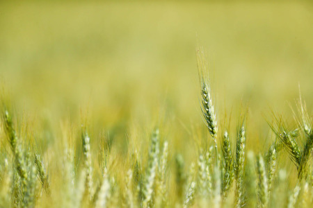 Wheat field agriculture background