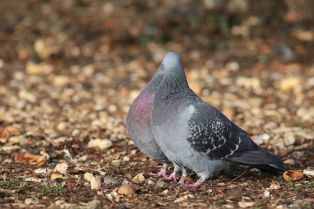 Couple of Feral Pigeons, Columba livia domestica, kissing during spring mating season