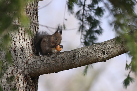 Red squirrel hidden on a tree branch eating a walnut