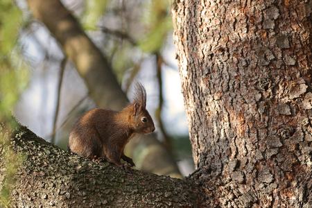Red squirrel hidden on a tree branch enjoying the spring sun