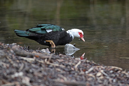 Domestic Muscovy Duck, Cairina moschata domestica, strolling by a pond Stock Photo