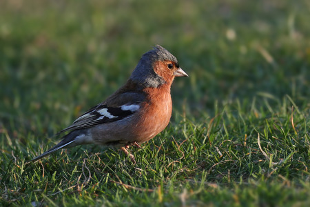 Sideview portrait of a Common Chaffinch, Fringilla coelebs, in a sunny grass meadow