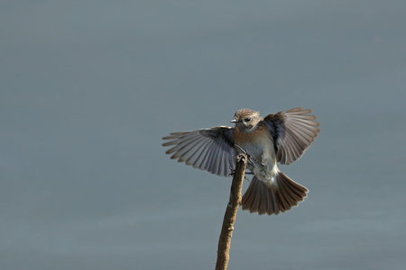 Eurasian Stonechat, Saxicola rubicola, in flight with open wings and tail front view