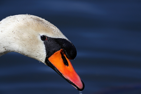 Sideview portrait of white swan covered in water droplets Stock Photo