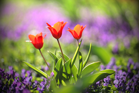 Colorful spring garden with purple flowers and red tulips Stock Photo