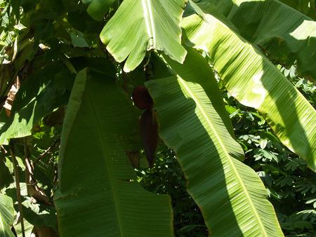 gree: Banana leaf backlit sun - background, gree and fresh