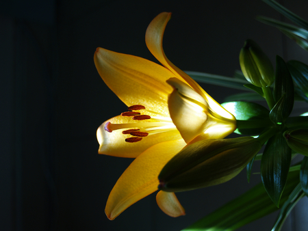 magic lily: Zephyranthes lily flower. Common names for species in this genus include fairy lily, rainflower, zephyr lily, magic lily, Atamasco lily, madonna lily and rain lily