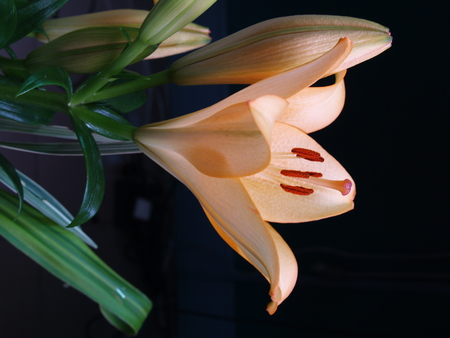 Zephyranthes lily flower. Common names for species in this genus include fairy lily, rainflower, zephyr lily, magic lily, Atamasco lily, madonna lily and rain lily