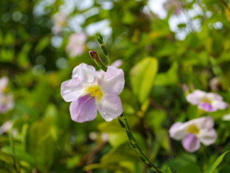 wild flower-Southern in Viet Nam. Stock Photo