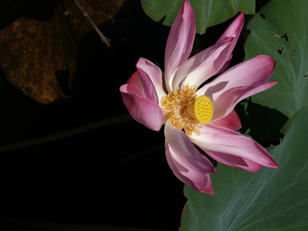 Lotus flower and Lotus flower plants Stock Photo