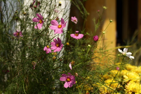 Pink Cosmos Flowers at sunrise. Stock Photo