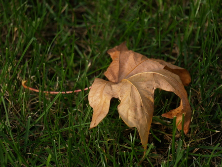 dry mapple leaf isolated on green grass.