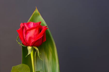 Red rose isolated from black background, Valentines Day, Mothers Day, Sant Jordi, with space for copy