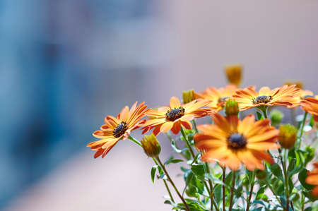 Orange daisies, selective focus isolated from the background, copy space