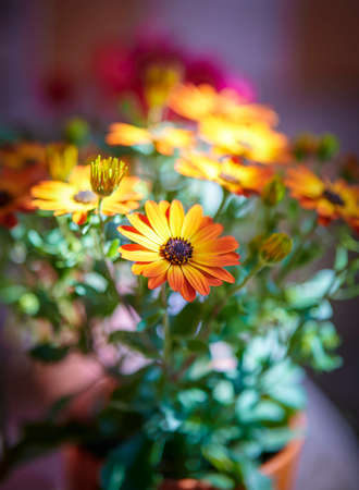 Orange daisies, selective focus isolated from the background Banque d'images