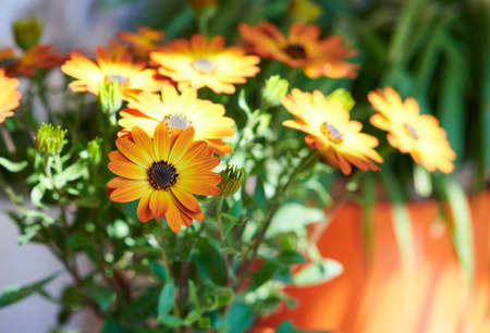 Orange daisies, selective focus isolated from the background