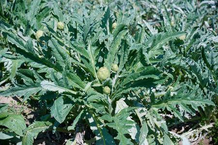 Artichokes planted in farmers field Reklamní fotografie