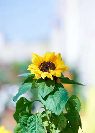 Sunflower plant with vertical format copy space Reklamní fotografie