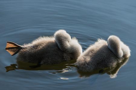 cygnet: Swan Ducklings Stock Photo