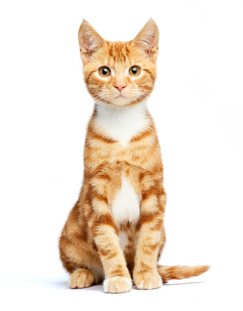 Adorable ginger red tabby kitten isolated, sitting, curious and isolated on white background