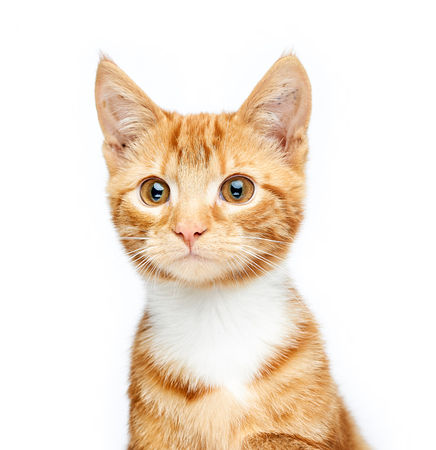 Adorable ginger red tabby kitten isolated, sitting, looking off camera, curious and isolated on white background 写真素材