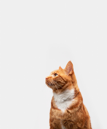 Red ginger tabby cat isolated on a light grey background looking to the side. 写真素材