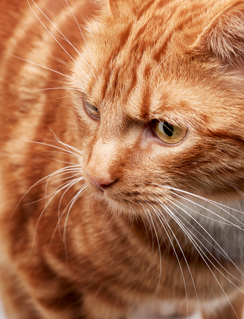 Red ginger tabby cat close up on face and eyes focusing on its amazing coat.