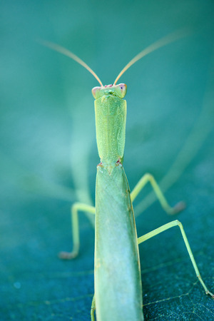 Macro of stick leaf insect posing on a green fig leaf