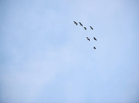 Flock of seagulls flying in formation against a pale blue sky. 写真素材