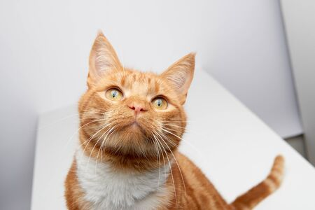 Handsome ginger tabby red cat sitting on a white table curious looking up.