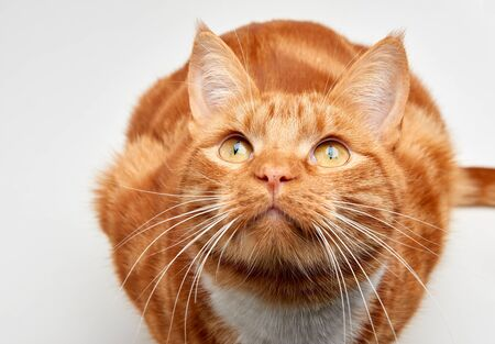 Gorgeous red ginger tabby cat sitting on all fours looking up.