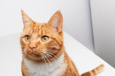 Handsome ginger tabby red cat sitting on a white table curiously looking off camera. 写真素材