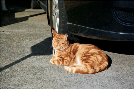 Gorgeous red tabby ginger cat basking in the sun in front of a car  in a driveway. 写真素材