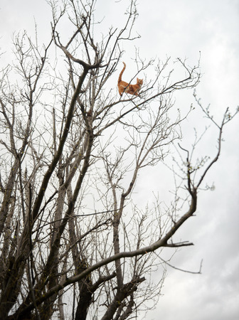 Adventurous crazy red ginger tabby cat perched high up in a winter tree on branches. 写真素材