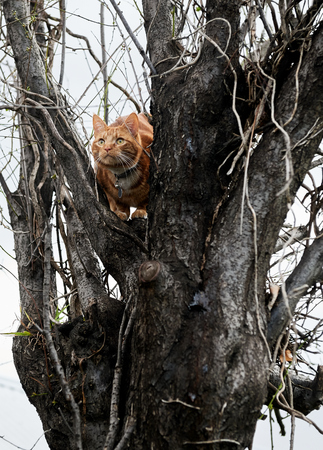 Ginger red tabby cat hunting in a winter tree.