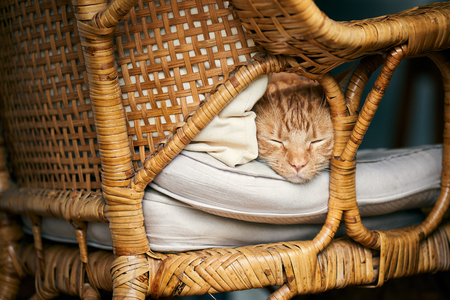 Cute ginger tabby red cat asleep on a cane chair napping.