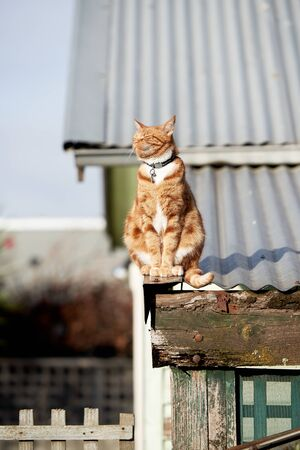 Red ginger cat sitting on an iron roof with its face directed straight at the sun.