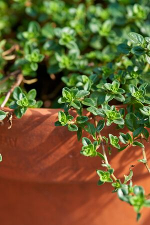 Thyme close-up growing in a terracotta garden pot.