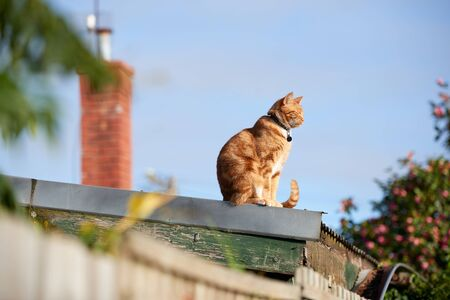 Ginger red tabby cat sitting on a corrugated iron roof on a sunny day. 写真素材