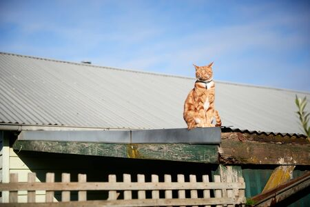 Ginger red tabby cat sitting on a tin roof against a blue sky.