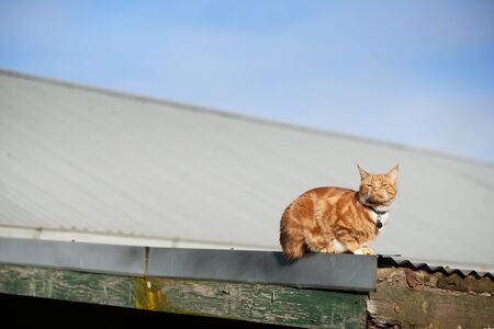 Red ginger cat laying on an iron roof with its face directed straight at the sun.