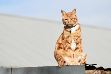 Ginger red tabby cat sitting on a tin roof on a sunny day looking at the camera. 写真素材